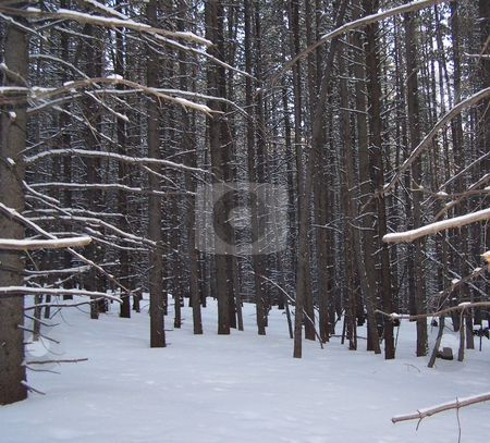 Snowy aspen trunks stock photo, Taken while on a hike along the Continental Divide Trail. by JKJ Anderson