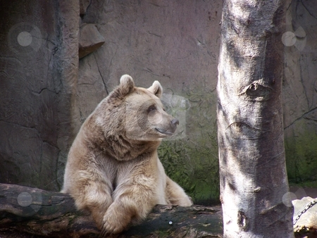 Dignified Brown Bear stock photo, This full-grown brown bear looked somewhat out of place near to the kangaroos in the Melbourne Zoo. by JKJ Anderson