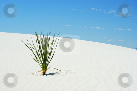 Yucca plant stock photo, Yucca plant in white sand with blue sky by Sam Sapp