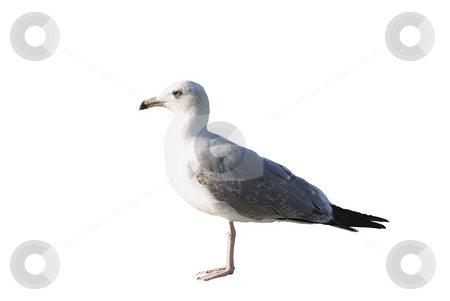 Seagull stock photo, Western gull isolated on white background. by Serge VILLA
