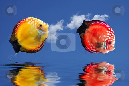 Tropical fishes stock photo, Tropical fishes jumping over  water. by Serge VILLA