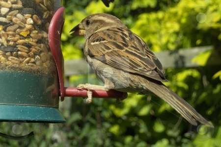 House Sparrow stock photo, House Sparrow on bird feeder by Waldy Wisniewski