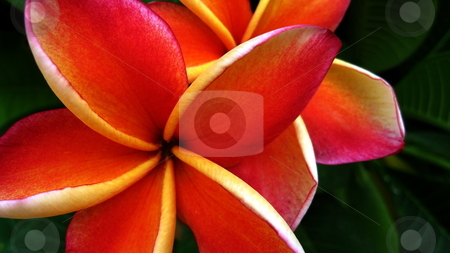 Red Franjipani stock photo, Orange flowers of the Red frangipani, or temple tree by Martin Darley