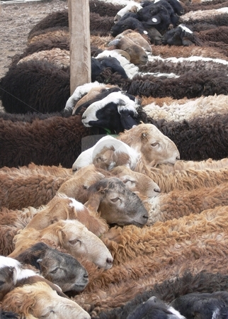 Sheep For Sale stock photo, Sheep for sale at an outdoor market stand cheek by jowl in a line, because their heads have been passed through a twisted pair of ropes to tether them by Martin Darley
