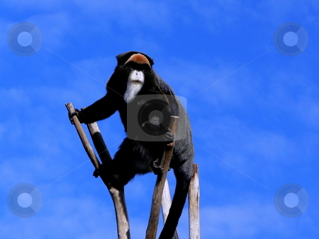 Monkey on the Lookout stock photo, A high contrast shot of a bearded De Brazza's Monkey on the lookout against a blue sky as background by Martin Darley