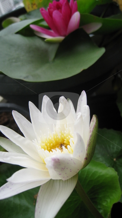 Water lillies stock photo, A white waterlily in the foreground with a pink lily behind by Martin Darley