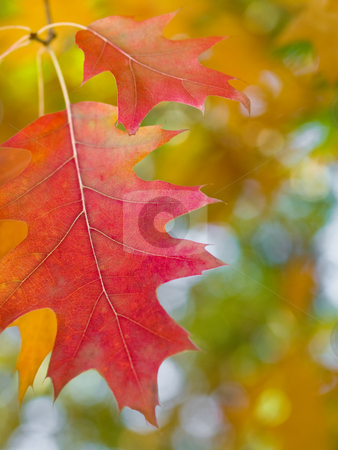 Beautiful autumn red oak leaves stock photo, Beautiful autumn red oak leaves with nice bokeh by Laurent Dambies