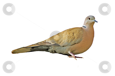 Eurasian Collared Dove stock photo, Eurasian Collared Dove isolated on white background. Scientific name : Streptopelia decaocto. Shooted in French Riviera. by Serge VILLA