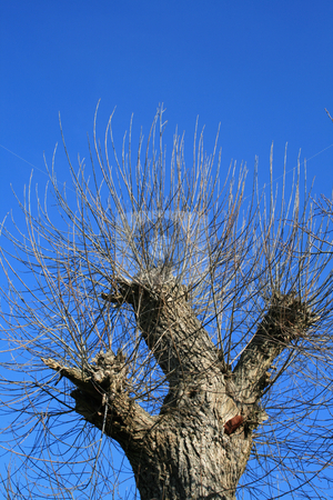 The truncated tree against a sky background. stock photo, The truncated tree with young branchs against a blue sky background. by Viachaslau Barysevich