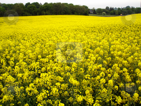 Field of rapeseed stock photo,  by Per W?