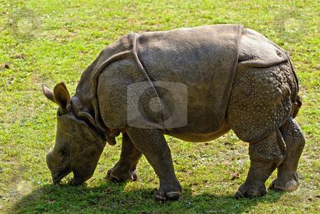 Baby Rhino stock photo, Calf of an Indian Rhinoceros (Rhinoceros unicornis) by Wino Evertz