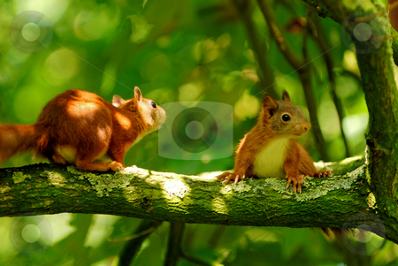 Playing young squirrels  stock photo, Two young squirrels playing in a tree by Wino Evertz