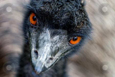 Emu watching stock photo, Head of moving Australian Emu (Dromaius novaehollandiae) looking with orange eyes by Wino Evertz