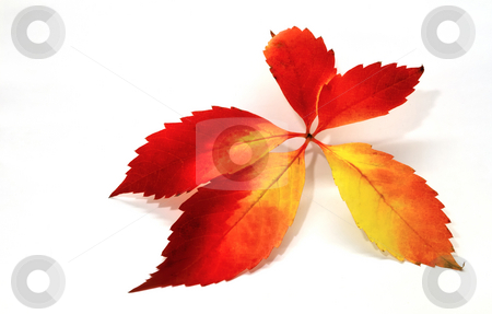 Red leaves stock photo, Autumn, fall, foilage, isolated, leaf, leaves, nature, red, season, tree, yellow by Per W?