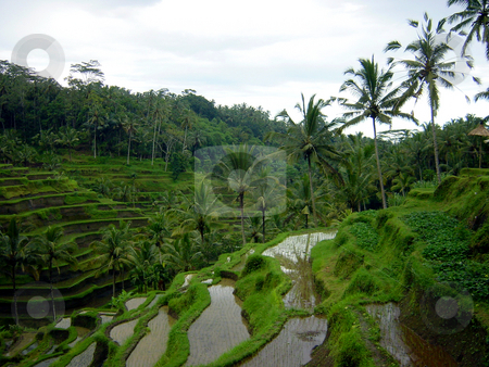 Growing rice stock photo, Terraces rice plantation on Bali by Per W?