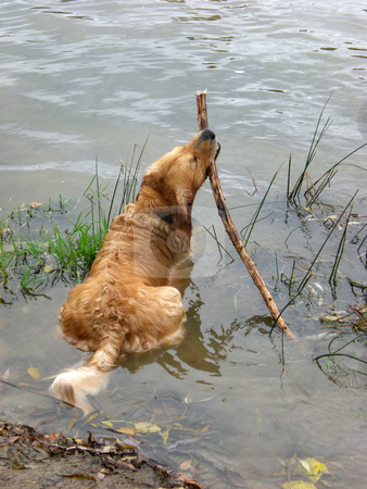Golden retreiver with stick stock photo,  by J.G. Byers