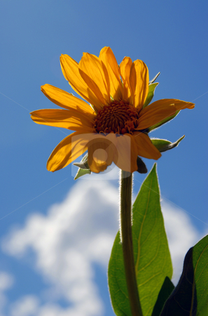 Sunflower stock photo,  by Brian Shephard
