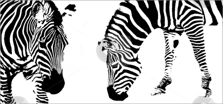 Zebra abstract stock photo, Posterized abstract study of stribes by Flemming Jacobsen