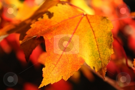 Golden Autumn stock photo, Leaf turning the colors of autumn by Linda Johnson