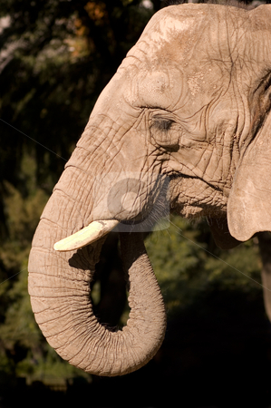 Elephant. stock photo, Elephants head. by Pablo Caridad