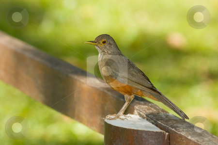 Turdus rufiventris stock photo, Turdus rufiventris by Pablo Caridad