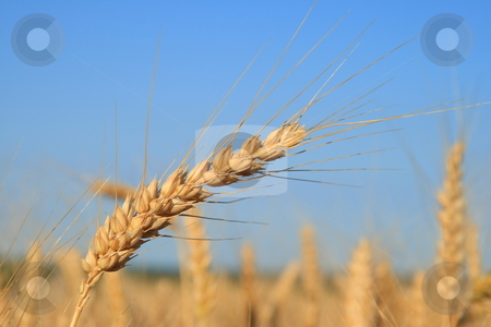 Wheat stock photo, Wheat fields macro. by Levente Varga