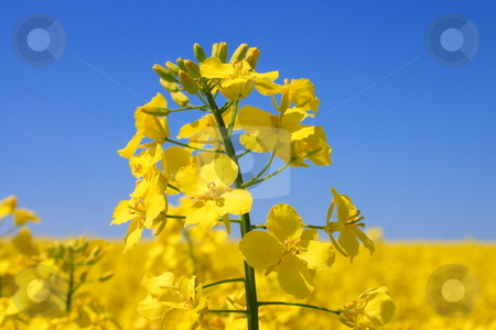 Flowers  rape. stock photo, Spring flowers rape. by Levente Varga