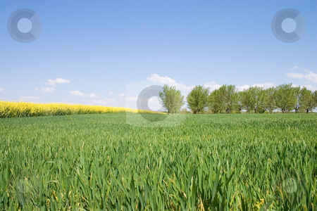 Wheat field stock photo, Spring wheat bordered with trees field. by Levente Varga
