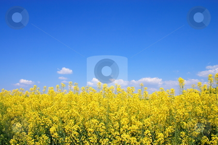 Blooming. stock photo, The blooming of a field is vernal rape. by Levente Varga