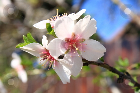 Blooming is vernal. stock photo, The vernal blooming of an almond-tree. by Levente Varga