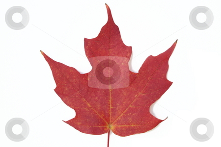 Red maple leaf stock photo, Macro shot of red maple leaf on white background. by Todd Dixon