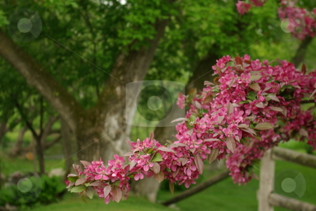 Spring flowering bush stock photo, The branch of a crabapple tree loaded with pink spring blossoms. by Dennis Thomsen