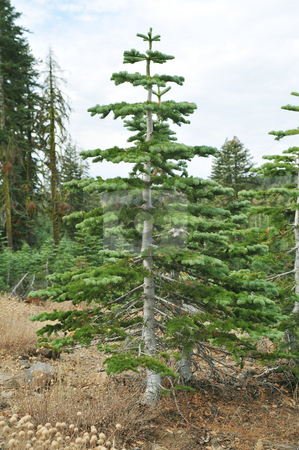 Young Tree stock photo, A small Christmas tree gows on a mountain side in California by Lynn Bendickson