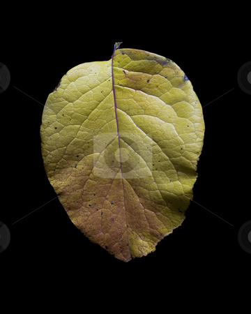 Autumn Leaf stock photo, A single leaf isolated on a black background by Richard Nelson