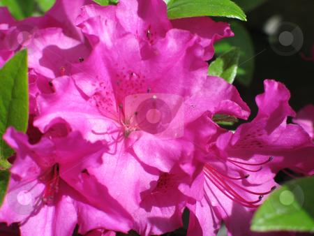 Magenta rhododendron bush in bloom stock photo, Magenta rhododendron bush in bloom by Mbudley Mbudley