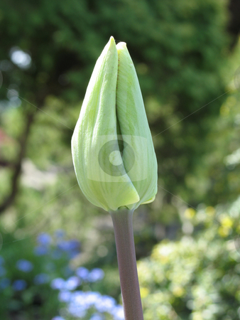Green tulip getting ready to bloom stock photo, Green tulip getting ready to bloom by Mbudley Mbudley