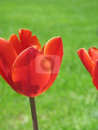 Red tulips and green grass stock photo, Red tulips and green grass by Mbudley Mbudley