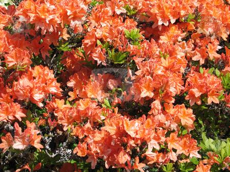 Orange rhododendron bush in bloom stock photo, Orange rhododendron bush in bloom by Mbudley Mbudley