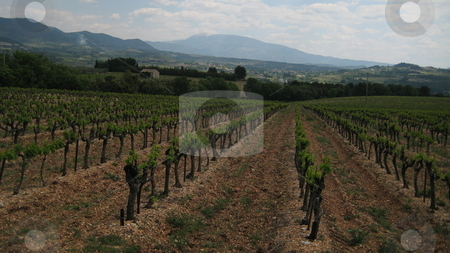 Vinyard in Provence, France stock photo, Vineyard in Provence, France near Vaison La Romanie with Mont Ventoux in the background by Waldy Wisniewski