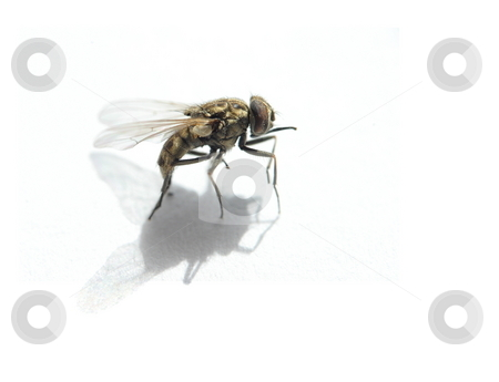 Closeup of Fly stock photo, Closeup of a fly isolated on white. by Great Divide Photography