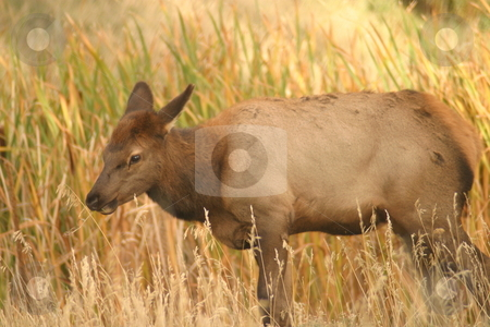 Cow Elk stock photo, A cow elk standing near a pond. by Great Divide Photography