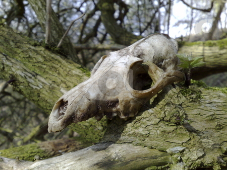 Animal Skull stock photo, While walking through the beautiful Cheshire countryside, I came across this animal skull placed in a tree. by Mike Whitby