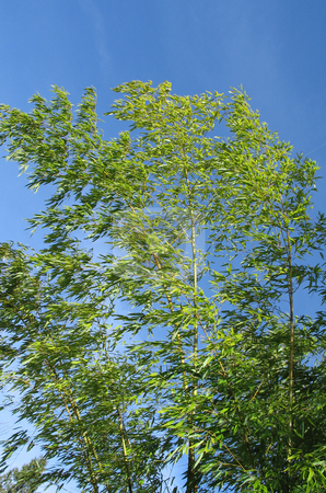 Green bamboo and blue sky stock photo, Green bamboo and blue sky by Mbudley Mbudley