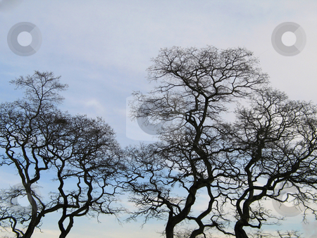 Black tree in the winter time stock photo, Black tree in the winter time by Mbudley Mbudley