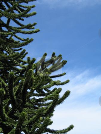 Green monkey tree and blue sky stock photo, Green monkey tree and blue sky by Mbudley Mbudley