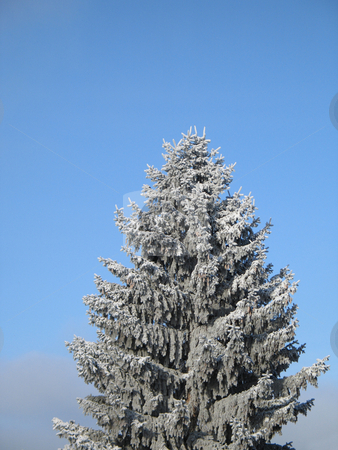 Conifer covered with snow stock photo, Conifer covered with snow by Mbudley Mbudley