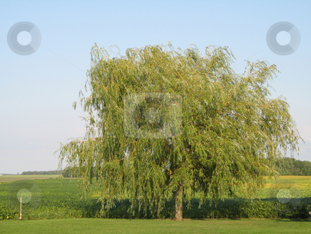Green tree in a field stock photo, Green tree in a field by Mbudley Mbudley