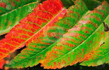 Staghorn Sumac stock photo, Staghorn Sumac Leaves in the Fall by Will Burwell