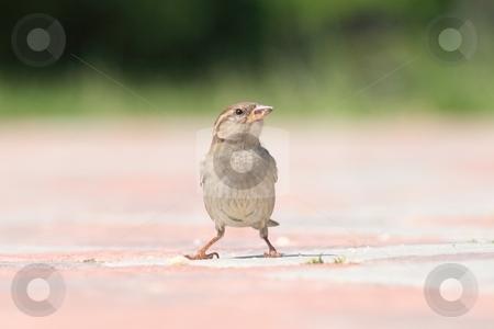Sparrow. stock photo, A field sparrow between the bkrok. by Levente Varga