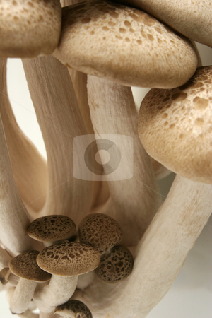 Hon-Shimeji Mushrooms stock photo, A cluster of Hon-Shimeji Mushrooms against a white background by Steve Smith